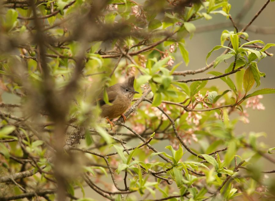 Streak-throated Yuhina