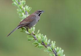 five-striped sparrow arizona