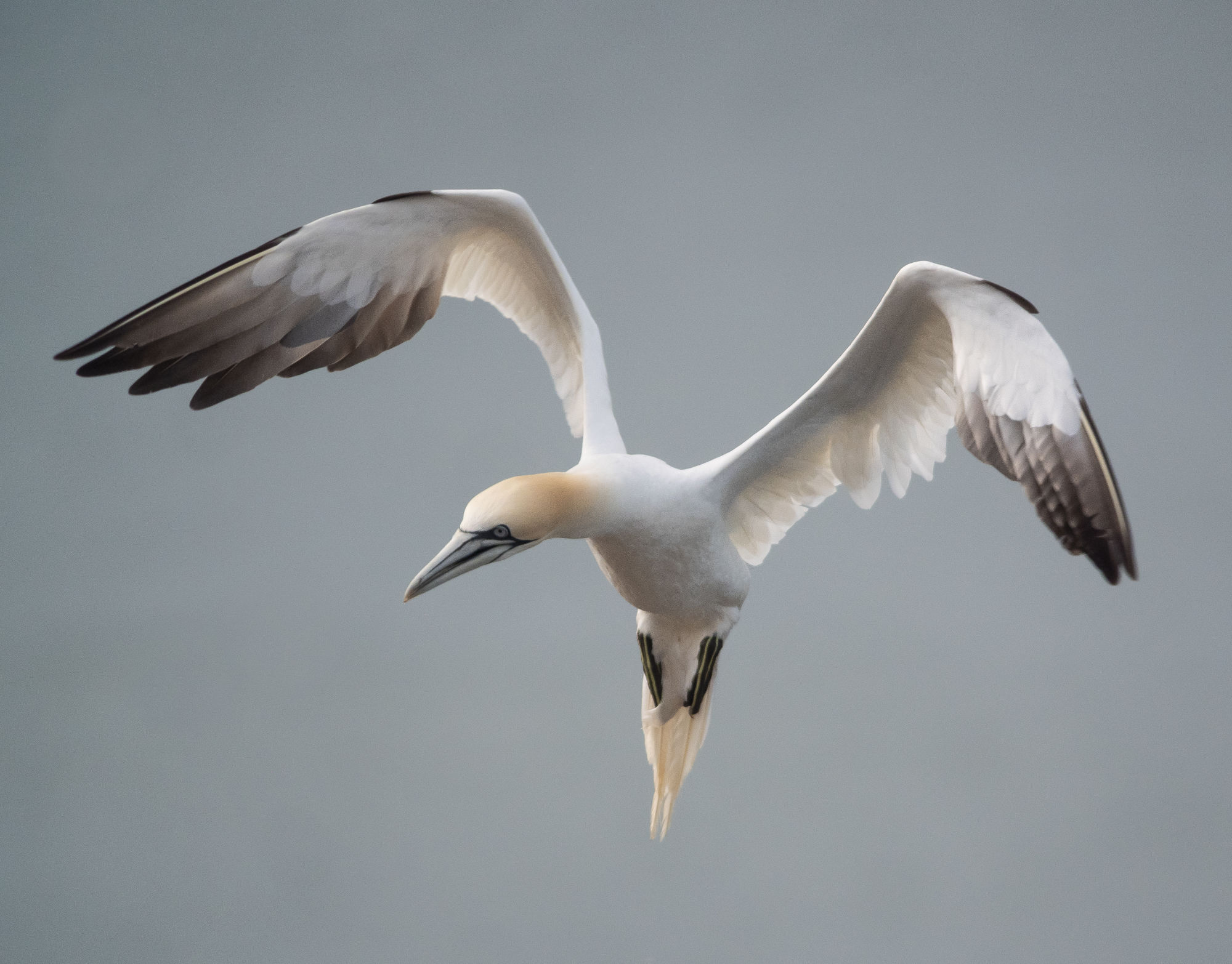 A Black-browed Albatross at RSPB Bempton Cliffs - Gannet by Justin Carr