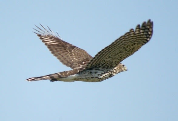 The 115-mm objective module in Texas 1/3 – birding at Hazel Bazemore Park B/ - close up Cooper's Hawks (Accipiter cooperii) by Clay Taylor