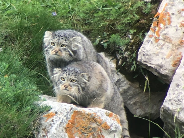Pallas's Cat, sitting behind a rock Qinghai Lake