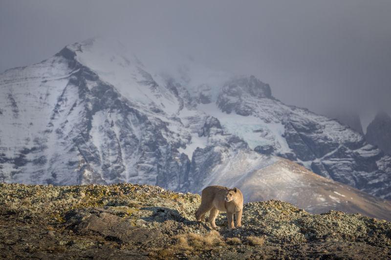Pumas in Torres del Paine National Park  mammal Ingo Arndt 002