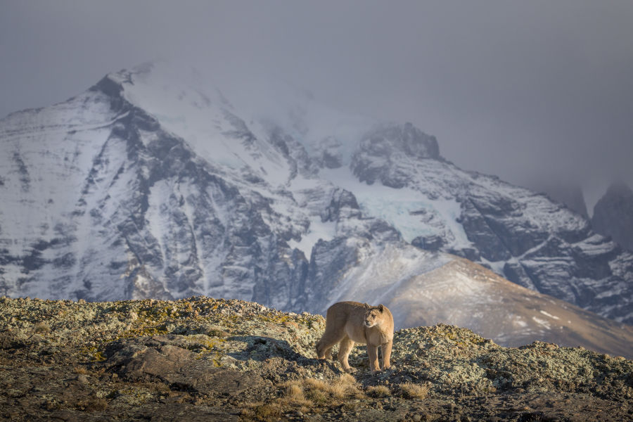 Pumas in Torres del Paine National Park: Pumas are distributed in six different subspecies throughout North and South America. In the past, they populated the Americas almost without a gap, but their population has now declined sharply.  German photographer Ingo Arndt has been following them in Chile for many years.