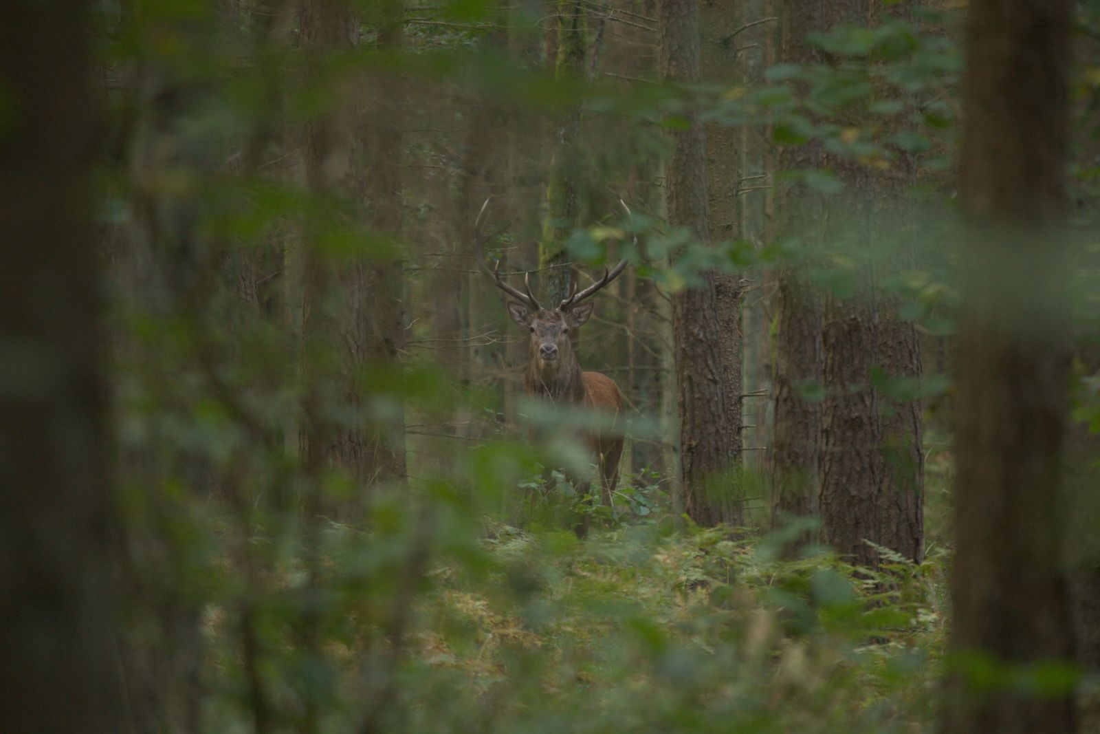 Hunting red deer in Poland