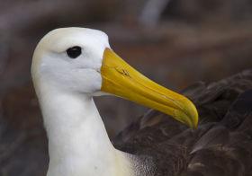 Galapagos, Wave Albatross, Cervantes Daza