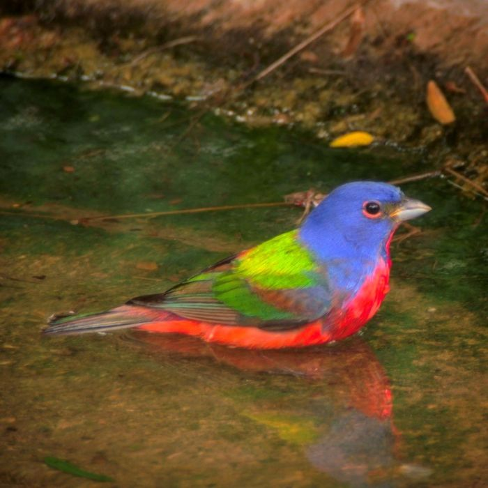 The 115-mm objective module in Texas 1/3 – birding at Hazel Bazemore Park B/ - Painted Bunting (Passerina ciris) by Clay Taylor