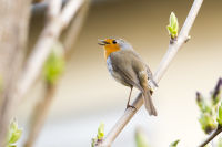 Birdsong: a free concert with special meaning B/ - Rotkehlchen LK