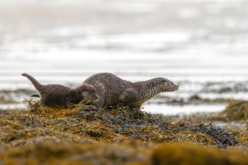 How to observe Shetland's otters B/ O/ - Spotting otters - Brydon Thomason