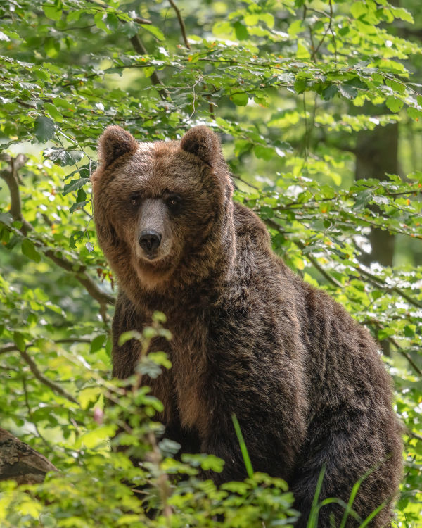 Entering the bears' realm - Bear in Sovenia  standing right in front by Andreas Hütten