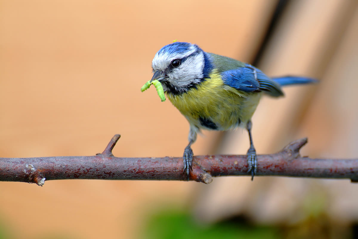 Always hungry – young birds and their (exhausted) parents - gardenbirding Blaumeise Leander Khil