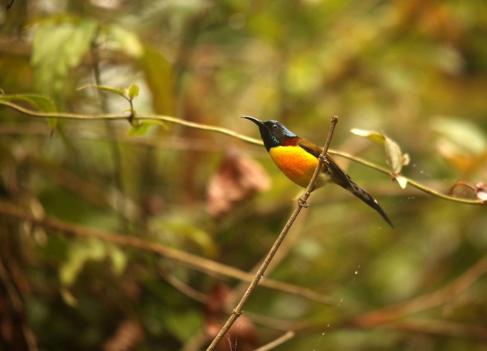 Birding in Singalila National Park, Green tailed Sunbird