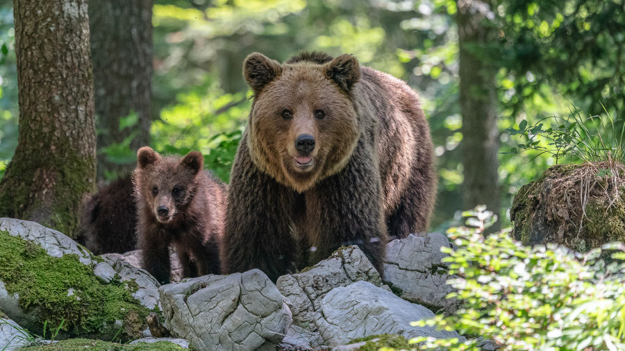 !!! Andreas Hütten Entering the bears' realm O/ - Andreas Hütten mother bear with four-month-old cub