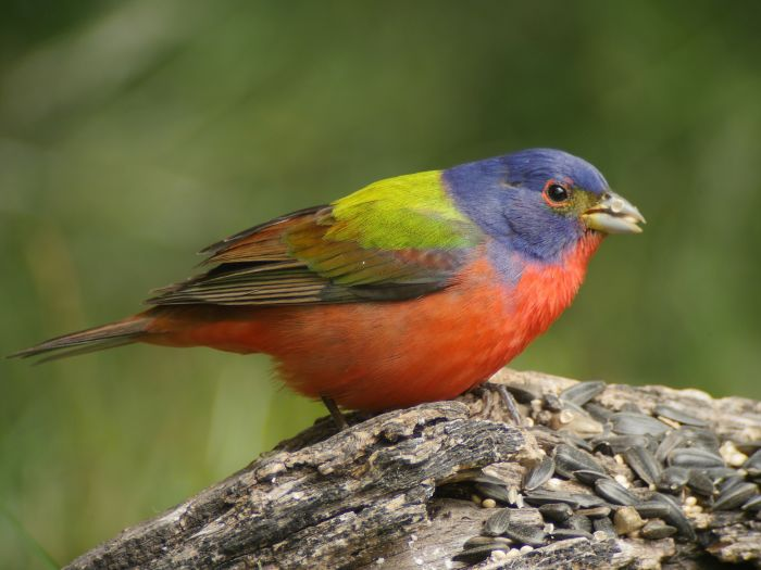 Bird_Painted_bunting_Clay_Taylor
