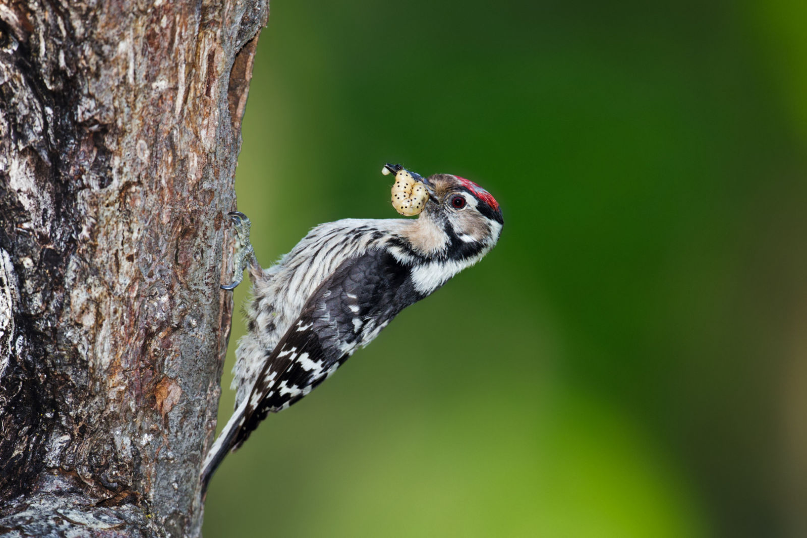 Woodpecker ID 1312286