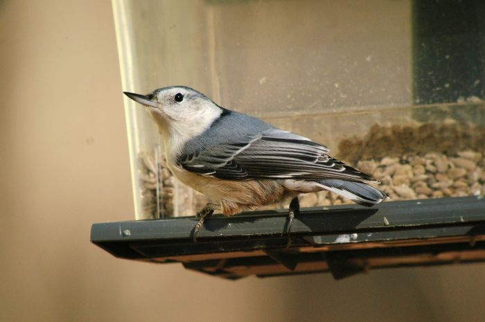 The White-breasted Nuthatch (Sitta carolinensis) is a common backyard bird in the US. Also found in parks, and suburbs, it favors mature deciduous trees.