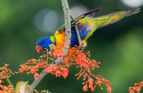rainbow lorikeet aus
