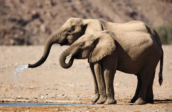 Namibia - Sustainable hunting in the Nyae Nyae Conservancy H/ - ID:1524246 A female and calf desert-adapted elephant