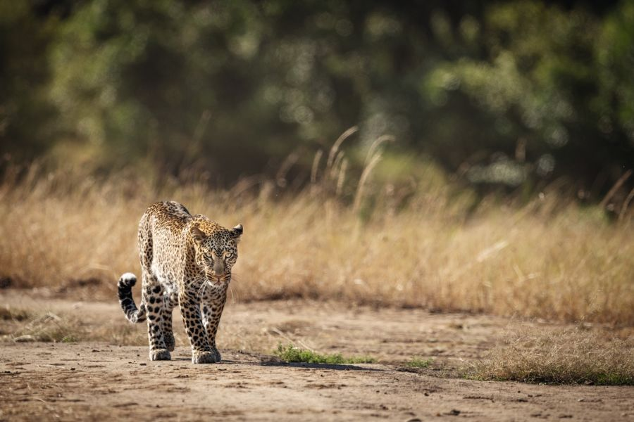 Namibia - Sustainable hunting in the Nyae Nyae Conservancy H/ - ID:1524266 Leopard Walking Past Long Grass In Savannah