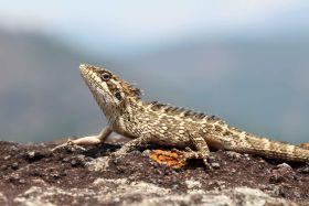 Nilgiri Spiny Lizard, Western Ghats