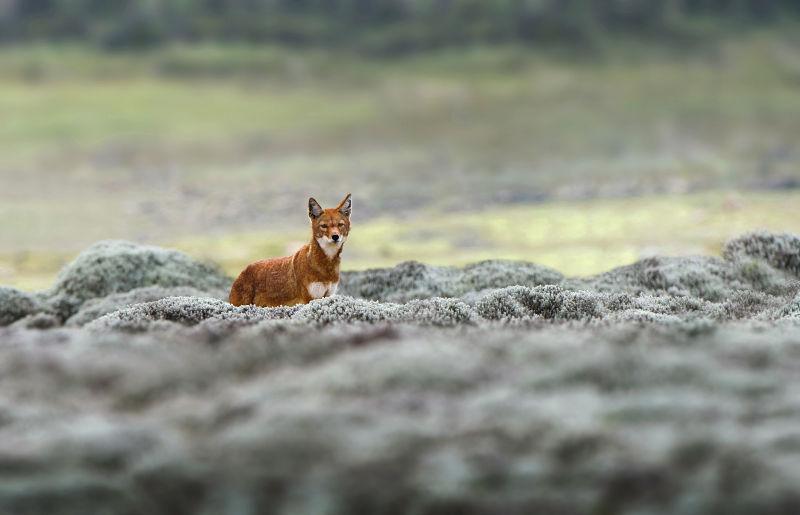 Äthiopischer Wolf