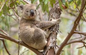 Koala aus