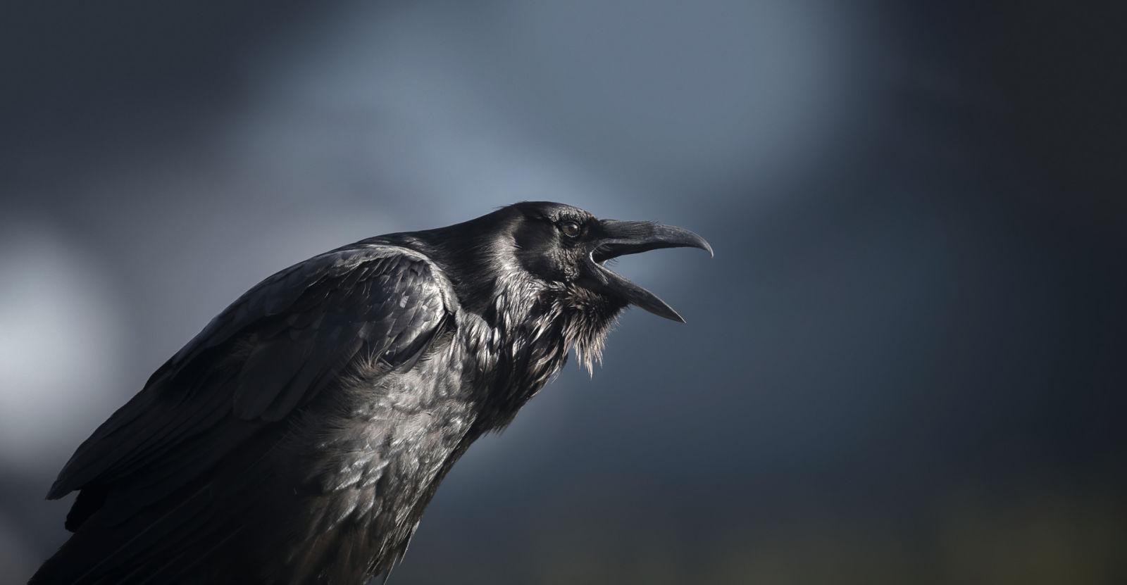 Raven, USA