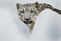 New perspectives – Tajikistan snow leopard