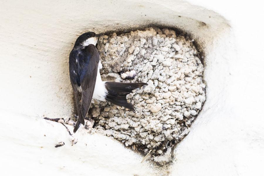 Bird nests – versatile cradles B/ - Mehlschwalbe LK