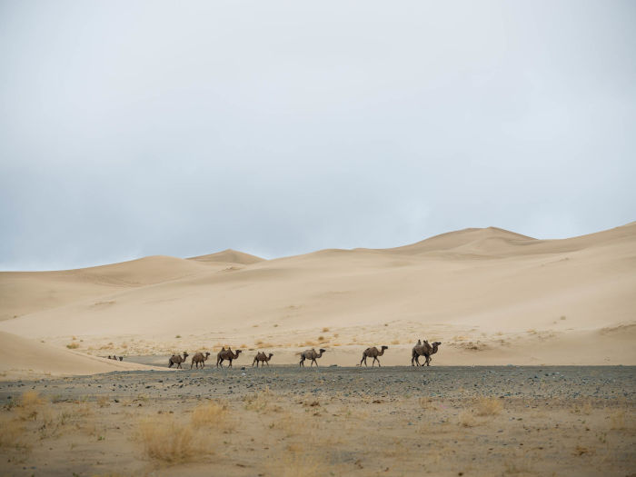 Swarovski Optik Surprises along the Silk Road Nature Outdoor dessert camels