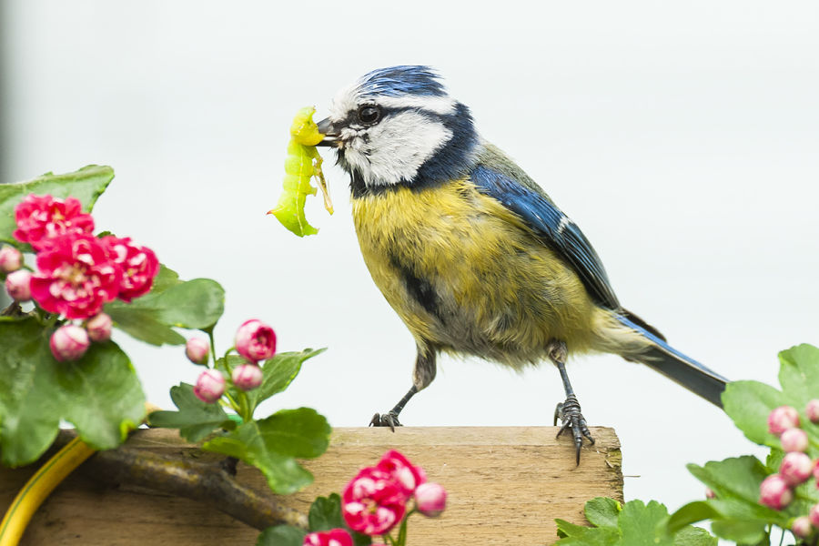 Always hungry – young birds and their (exhausted) parents B/ - Blaumeise LK