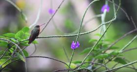 #gobirdingvlog Episode 5: Guatemala B/ - Leander Khil