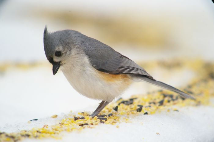 The Tufted Titmouse (Baeolophus bicolor) is a common backyard bird in the eastern U.S. It has an overall gray plumage with paler underparts and orangey sides.