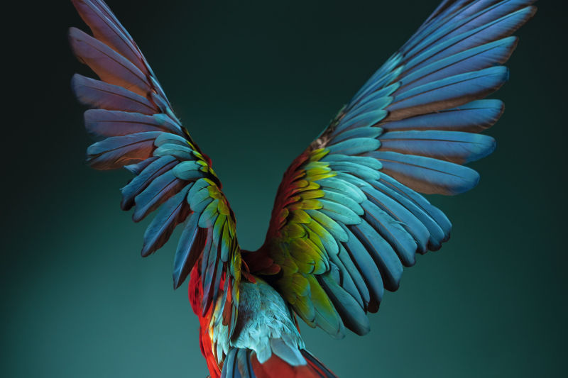 Bird Scarlet Macaw spreads wings CLOSER ID 1230580
