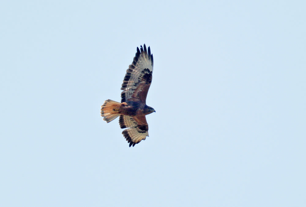 The Gib Buzzard conundrum ID1535958