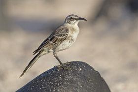 Galapagos, Espanola Mokingbird, Pablo Cervantes Daza