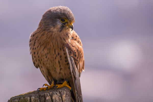 A Common Kestrel digiscoped by Mario Kreuzer and Leander Khil near Vienna, Austria.
