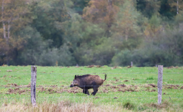 Join  us on a driven hunt in Belgium H/ - Dimitri Hullebroek wild boar