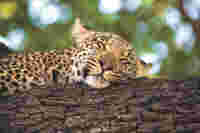 Leopard, wildlife, Botswana, nature and species conservation