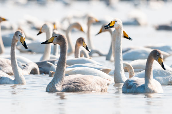 Close up: European Winter Waterfowl - Part 2 - Whooper Swan (Cygnus cygnus) by Leander Khil