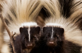 striped skunk arizona