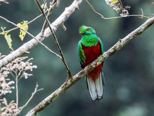 Crested Quetzal subtropics N Ecuador Nick Athanas 35361065433 44ae56dc5a o