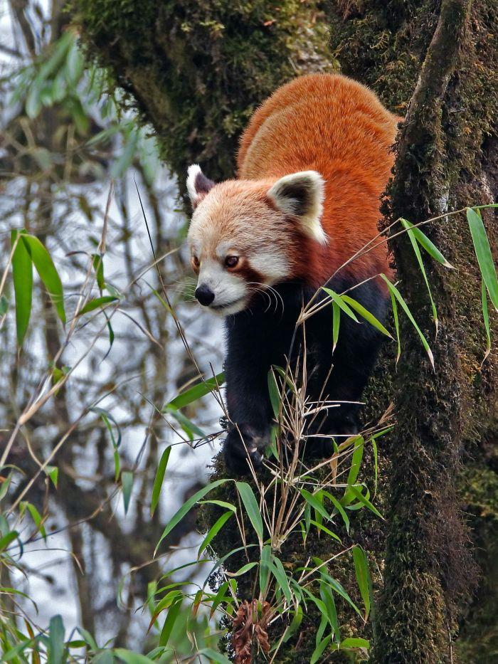 Red Panda feeding on bamboo