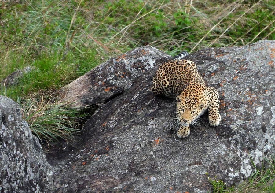 Leopard looking up portrait