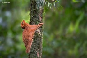 gliding Colugo Borneo