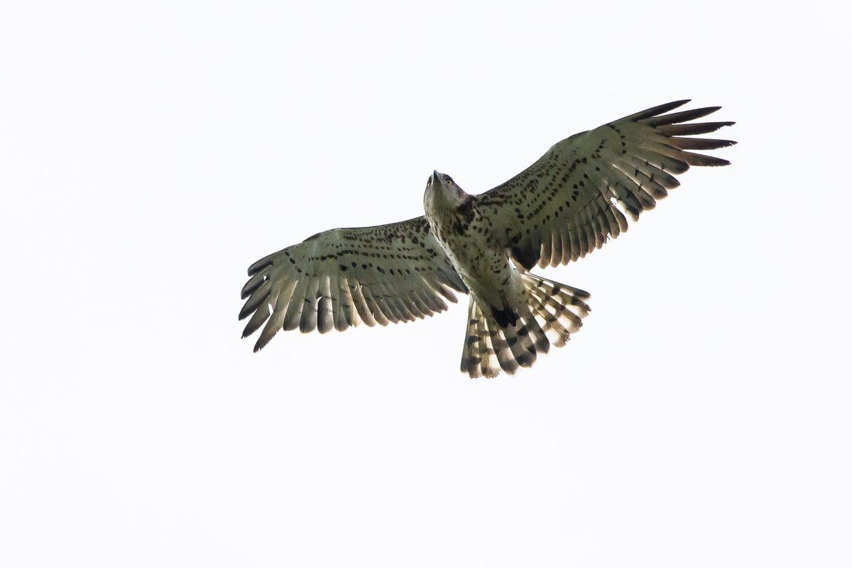 How to count 1 million raptors B/O/ - short-toed eagle folkert