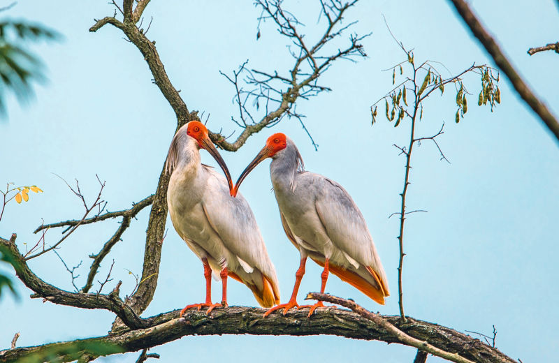 Why birds matter by BIRDLIFE INTERNATIONAL B/ - Closer Birding-Magazin, 2020, Crested Ibis ID:1399417