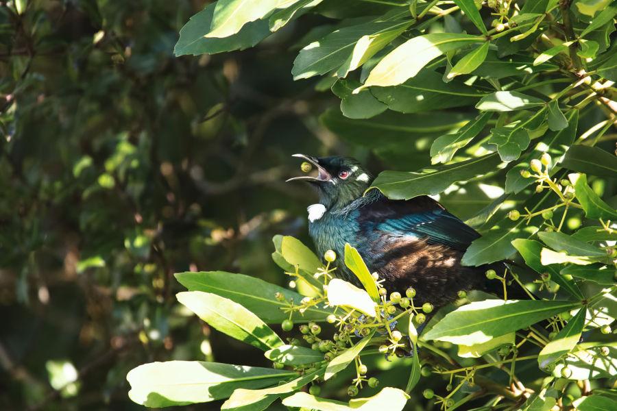 Why birds matter by BIRDLIFE INTERNATIONAL B/ - SWAROVSKI OPTIK Closer Birding-Magazin, 2020, A wild native Tui (Prosthemadera novaeseelandiae) ID:1399429