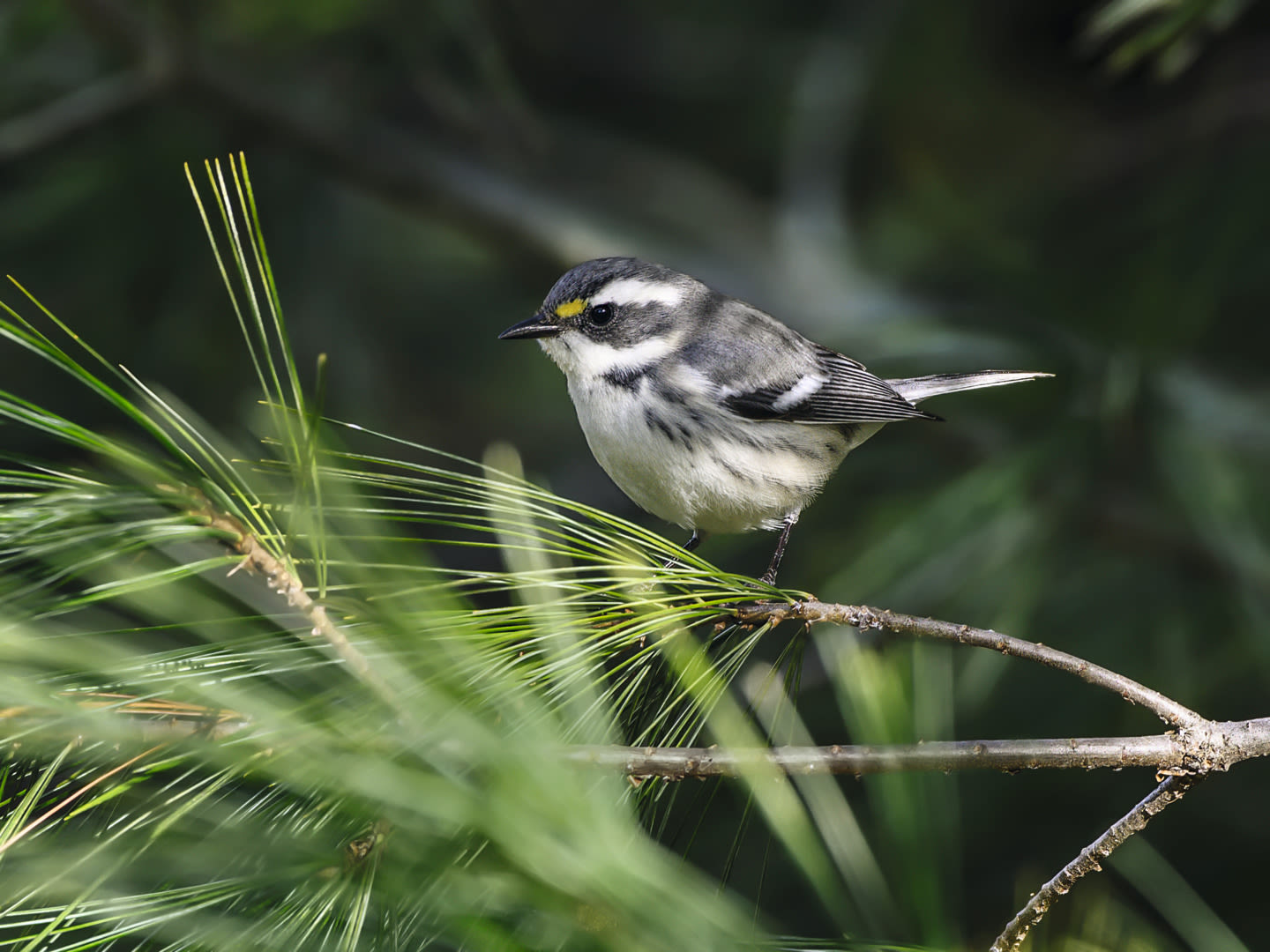 Black-throated gray warbler ID 1399426