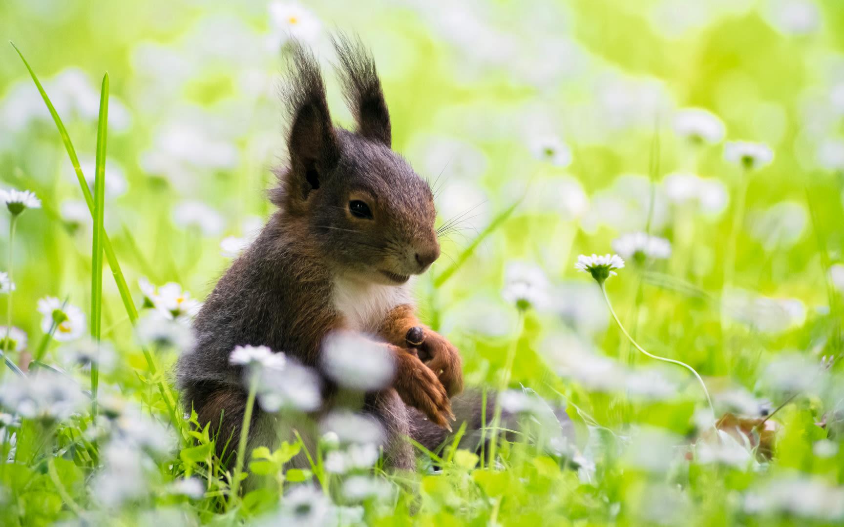 Squirrel (Sciurus vulgaris), Ozon, Red Squirrel, Sciurus vulgaris, Germany by Gabriel Ozon