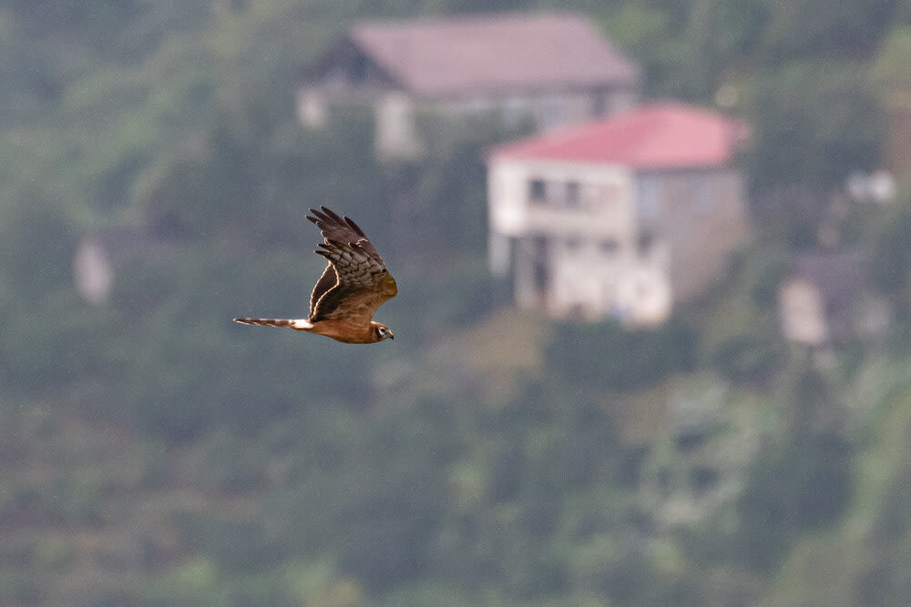 Conservation challenges in the Batumi bottleneck B/O/ - Bart Hoekstra Montagu's Harrier